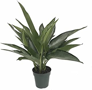 Silver Bay Chinese Evergreen Plant - Aglaonema - Low Light - 6