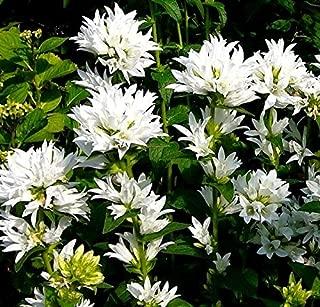 White Clustered Bellflower seeds - Campanula glomerata alba