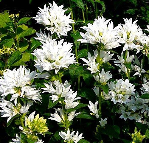 Blanc en Cluster campanule Graines - campanule Agglomérée Alba