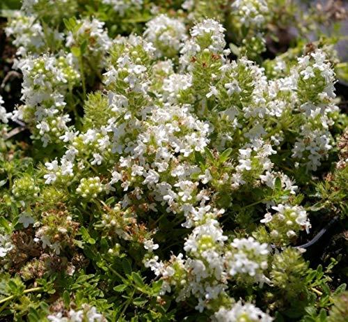 Thymus serpyllum Annabel - Teppich-Thymian Annabel