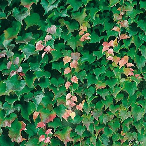 Yukio Samenhaus - Selbstklimmender Wilder Wein Jungfernrebe 'Veitch Boskoop' Kletterpflanzen Goldefeu mit Haftwurzeln Blumensamen mehrjährig winterhart für Wand Fenster