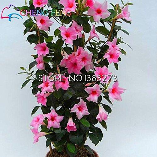 On Sale !!! Arcobaleno Mandevilla Semi Belle semi di fiore L'impianto in erba tasso del 95% da giardino per i bambini regalo