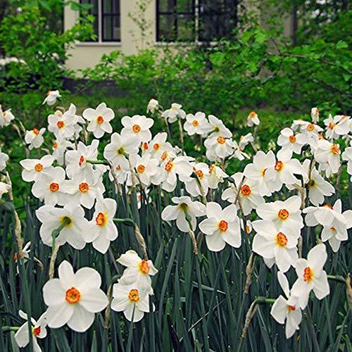10x Narcissus
