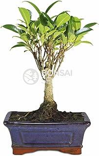 Bonsai - Ficus, 5 Años (Bonsai Sei - Ficus Retusa)