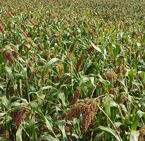 200 Semences Sorgho doux Grains de qualité biologique
