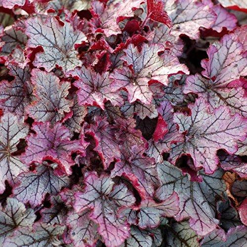 "Mini Garden heuchera Spellbound Purple Pink Big Coral Bells 2.5"" Pot = 1 Live Potted Plant"
