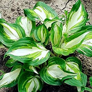 200pcs/bag Hosta Seeds Perennials Plantain Rare Lily Flower White Lace Home Pot Garden Ground Cover Plant Seed
