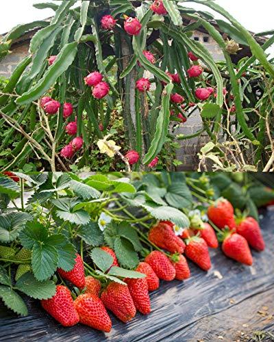 100PCS Fruit Seeds Set Dragon Fruit Seeds Strawberries Strawberry Seeds 100PCS...