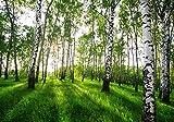wandmotiv24 Fototapete Birkenwald Wiese Gräser, XXL 400 x 280 cm - 8 Teile, Fototapeten, Wandbild, Motivtapeten, Vlies-Tapeten, Birken Wald Dämmerung Wiese M5838