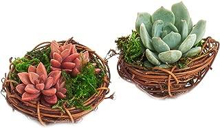 Shop Succulents Spring Mini Bird Nest Succulent Planter Duo - Spring Home Decor - Succulent Office or Classroom Décor - 3