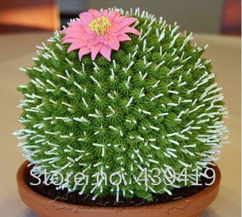 Brachychiton Acerifolius, Exotic Illawarra Flame Tree Flowering Seed 50 Seeds