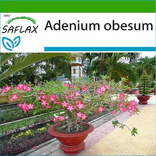 SAFLAX - Rosa del desierto - 8 semillas - Con sustrato estéril para cultivo - Adenium obesum