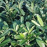 Prunus Laurocerasus 'Caucasica' - Laurierkers 60-80 cm pot