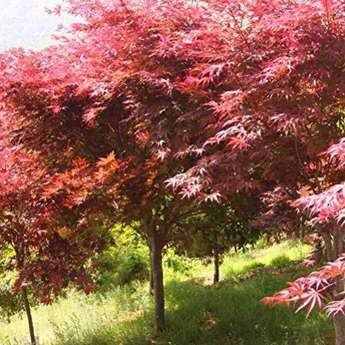 Go Garden Las semillas amarillas: 20Pcs caliente árbol de arce japonés Bonsai Acer palmatum Atropurpureum Planta Ef