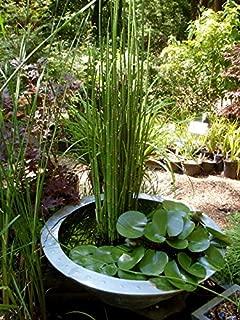 6 x Horsetail Reed Pond Plants bamboo Looking Zen Garden