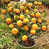 30 Pcs Citrus reticulata Graines nain orange Bonsai Mandarine graines comestibles Agrumes sucrés arbres fruitiers pour jardin #1
