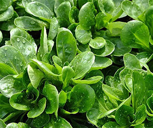 Bobby-Seeds Salatsamen Feldsalat Granon Portion