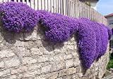 Yukio SEED CORNER - Rare Aubrieta Seeds (Purple Cascade), Attract Bees, Bumblebee, Butterflies, sea of Flowers Hardy Perennial Flower Seeds for rockeries, Banks and Walls