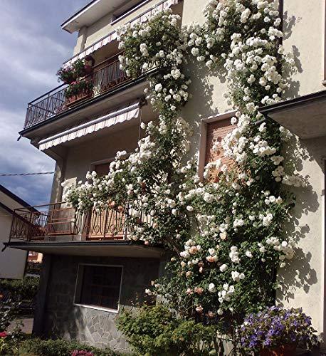 Clg. Iceberg®, rosa rampicante in vaso di Rose Barni®, pianta di rosa rampicante rifiorente a mazzi, altezza raggiunta fino a 5 metri, rifiorente con fiori color bianco puro, semidoppio, cod. 18035