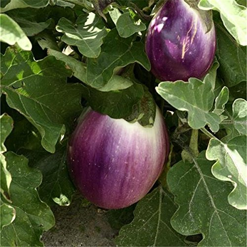 Aubergine - Eierfrucht - mittelfrüh - Violetta di Firenze - 20 Samen