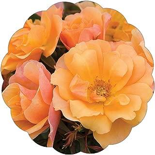 Stargazer Perennials Tequila Rose Plant | Reblooming Orange Shrub Rose | Low Maintenance Easy To Grow Potted