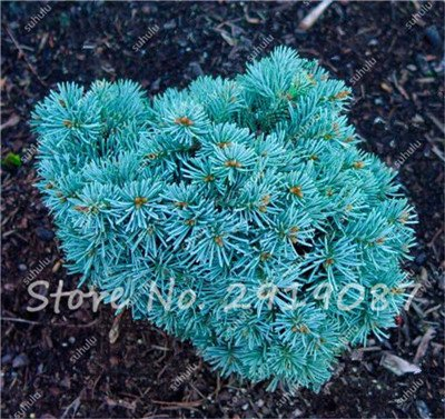 Colorado mixtes Graines de sapin Coloful Spruce Graines Picea arbre en pot Bonsai Cour Jardin Bonsai usine Pine Tree Seeds 100 Pcs 22