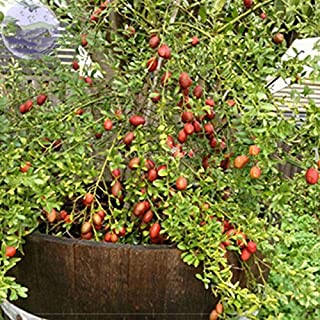 Top Garden Seeds LLC Ice Pink Finger Fruit Lime, 20 Seeds, Professional Pack, rare garden fruit plants