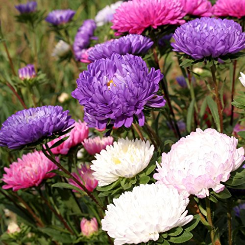 Semillas de crisantemo China Aster - Callistephus chinensis