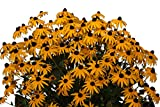"drei Pflanzen Gelber Sonnenhut (Rudbeckia fulgida"" Goldsturm"")"