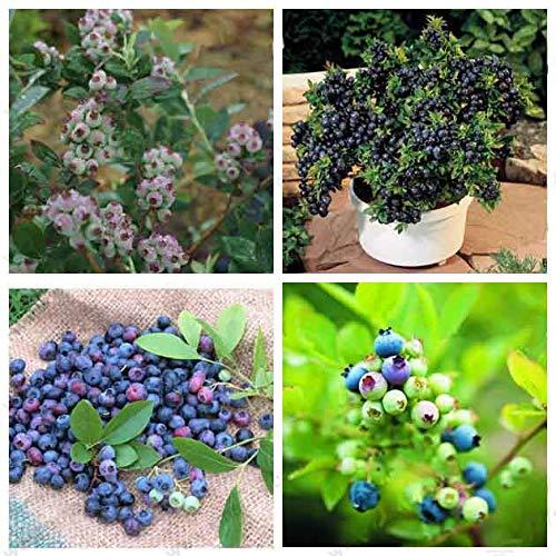 Semillas de arándanos, semillas de árboles de Vaccinium Spp, huertos familiares, árboles de bonsai, 200 partículas/bolsa