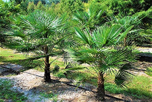 Extrem Frostharte Trachycarpus geminisectus bis 100cm Frosthart bis -19 Grad