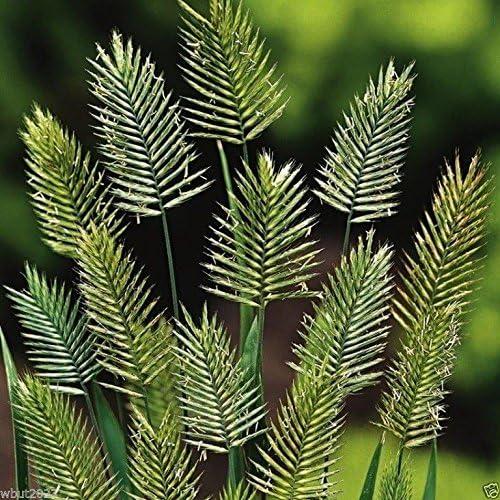 WANGENHEIMIA Superlatite LIMA 'VULCAN'. GRASS 10 Popular brand in the world Rare Gra Ornamental Seeds