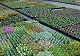 20 Mixed Alpine Plants for Full Sun in 9cm POTS - Alpine Plant Collection for Rockeries, Troughs and Garden