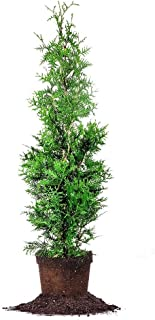 Best thuja for sale Reviews
