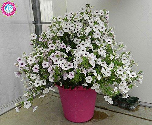 100 pcs/sac à double pétales graines de pétunia graines de fleurs bonsaï fleurs court jardin hauteur des graines de pot de plante d'intérieur ou ourdoor 2