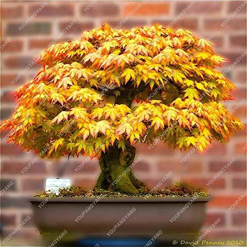 20 piezas de semillas de arce, plantas japonesas de bonsái, macetas para bricolaje en casa, jardín, arce, bonsái, bonsái