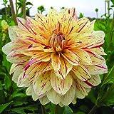 1 Dinnerplate Dahlia Tuber - Timeless - Order Now For Spring Planting!!!