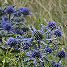 30 Seeds of Perennial Eryngium amethystinum - Sea Holly. Outstanding Thistle-Like Flowers with Wondrous Color!