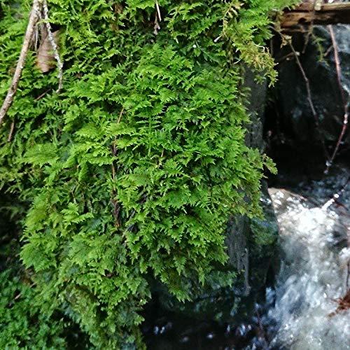 シノブゴケ 鮮度抜群! 苔玉、盆栽、ビオトープ、コケリウム、アクアリウムに最適! (翌日~翌々日発送)