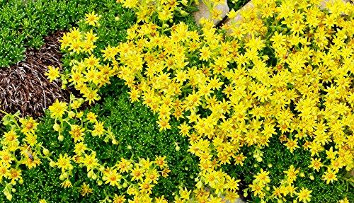 SEDUM selskianum 30 Samen - Spirit -Erstaunliche gelbe Farbe
