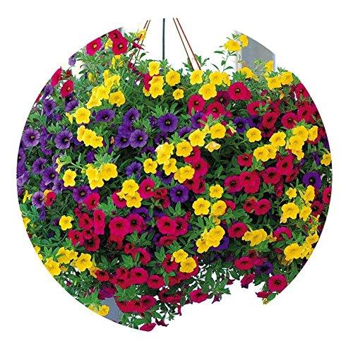 LIANA RIWIN 200 Petunien Hängende Blumensamen,Morgenruhm Mehrfarbig Blumensamen & pflanzen Dekoration Geeignet für Garten, Bonsai, Hängekorb, Balkon