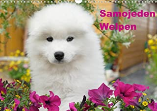 Samojeden Welpen (Wandkalender 2022 DIN A3 quer): Weiße Wollknäuel (Monatskalender, 14 Seiten )