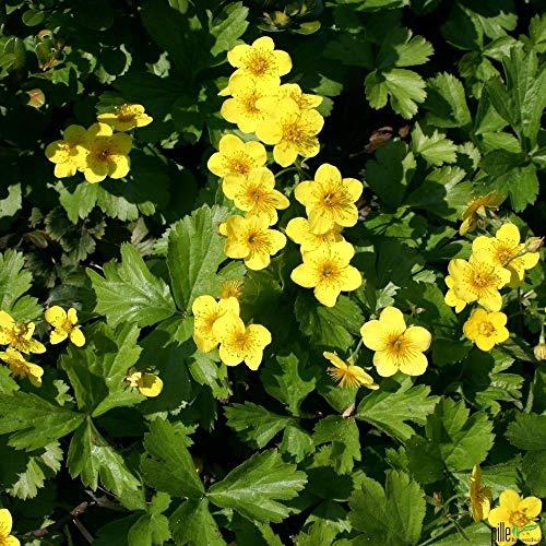 Waldsteinia ternata Golderdbeere Waldsteinie Bodendecker winterhart im Topf (50 Stück)