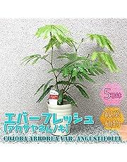 エバーフレッシュ(アカサヤネムノキ) 観葉植物 小型 5号プラスチック鉢(鉢底からの高さ:約60cm/葉張り:約40cm)【品種で選べる人気の観葉植物・リビングやオフィスの窓辺向きサイズ/1個】涼し気な明るいグリーンの葉と華奢な樹形が人気です。同じマメ科のネムノキと同じく、夜になると葉を閉じて眠ります。これを就眠(睡眠)運動と言います。この就眠運動は、夜間に葉から水分が蒸発していくのを防ぐ為だと言われています。春から夏に薄黄緑色の小さな花を咲かせます。花もネムノキの花を小さくしたような、直径2~3㎝程度の花です。花後には赤いサヤの中に黒い種子の入った実を付けます。これがアカサヤネムノキという和名の由来です。【造花ではありません。生きている観葉植物です。大型ですのでギフトラッピングには対応しておりません。※出荷タイミングにより、鉢の形や鉢色が変わる場合があります。商品の特性上、背丈・形・大きさ等、植物には個体差がありますが、同規格のものを送らせて頂いております。また、植物ですので多少の枯れ込みやキズ等がある場合もございます。予めご了承下さい】【即出荷/プライム送料込み価格】