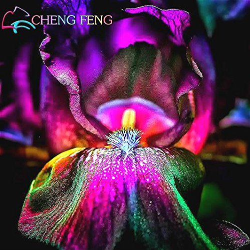 30pcs Hot Iris Graines Iris Orchid vivaces rares Graines tectorum Fleurs de jardin en plein air Plantation Bonsai Easy Grow Seed *
