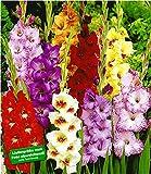 BALDUR Garten Gladiolen-Mischung, 100 Zwiebeln Gladiolus 100 Stück Gladiolenzwiebeln winterhart