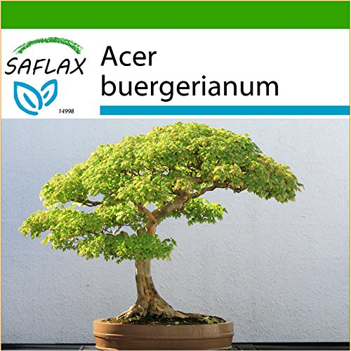 SAFLAX - Arce tridente - 30 semillas - Con sustrato estéril para cultivo - Acer buergerianum