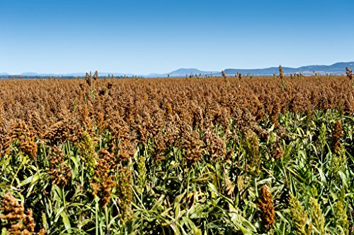 SIROP de 50 KN Morris Sorgho 25% plus de jus bicolor Légumes Graines de grain