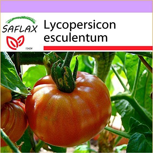 SAFLAX - Tomate - Pink Brandywine - 10 Samen - Lycopersicon esculentum