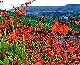 CROCOSMIA CROCOSIMIFLORA MONTBRETIA Orange Flowering Perennial in 7CM POTS Falling Stars